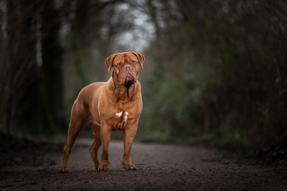 Marleen Verheul Fotografie, hondenfotografie, hondenfotograaf, Bordeaux Dog