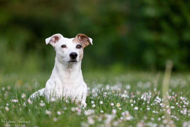 Marleen Verheul Fotografie, hondenfotografie, hondenfotograaf, hondenportret, Jack Russell in het gras
