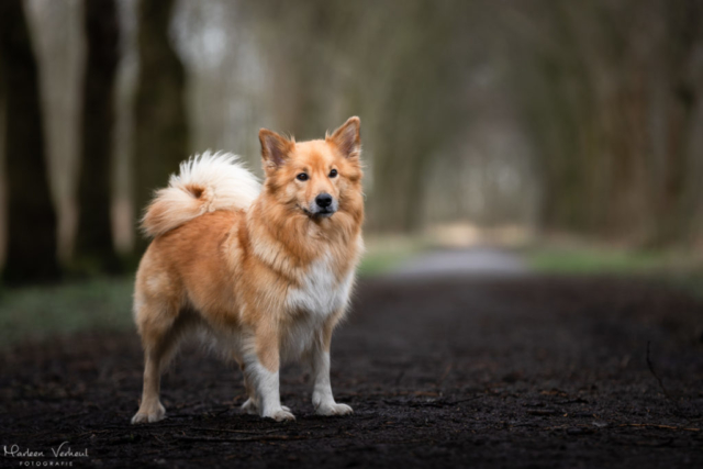 Marleen Verheul Fotografie, hondenfotografie, hondenfotograaf, Strobist Fotografie, IJslandse hond