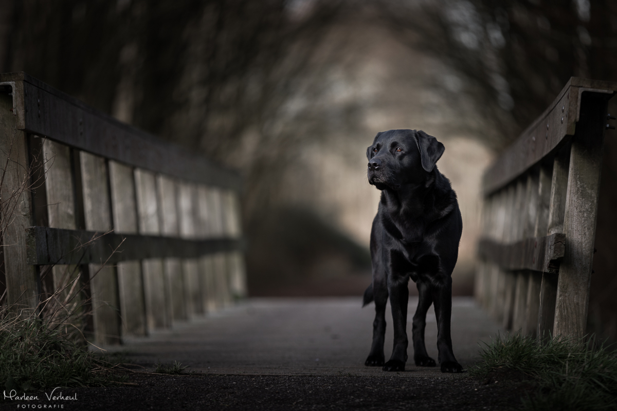 Marleen Verheul Fotografie, hondenfotografie, hondenfotograaf, Labrador Retriever