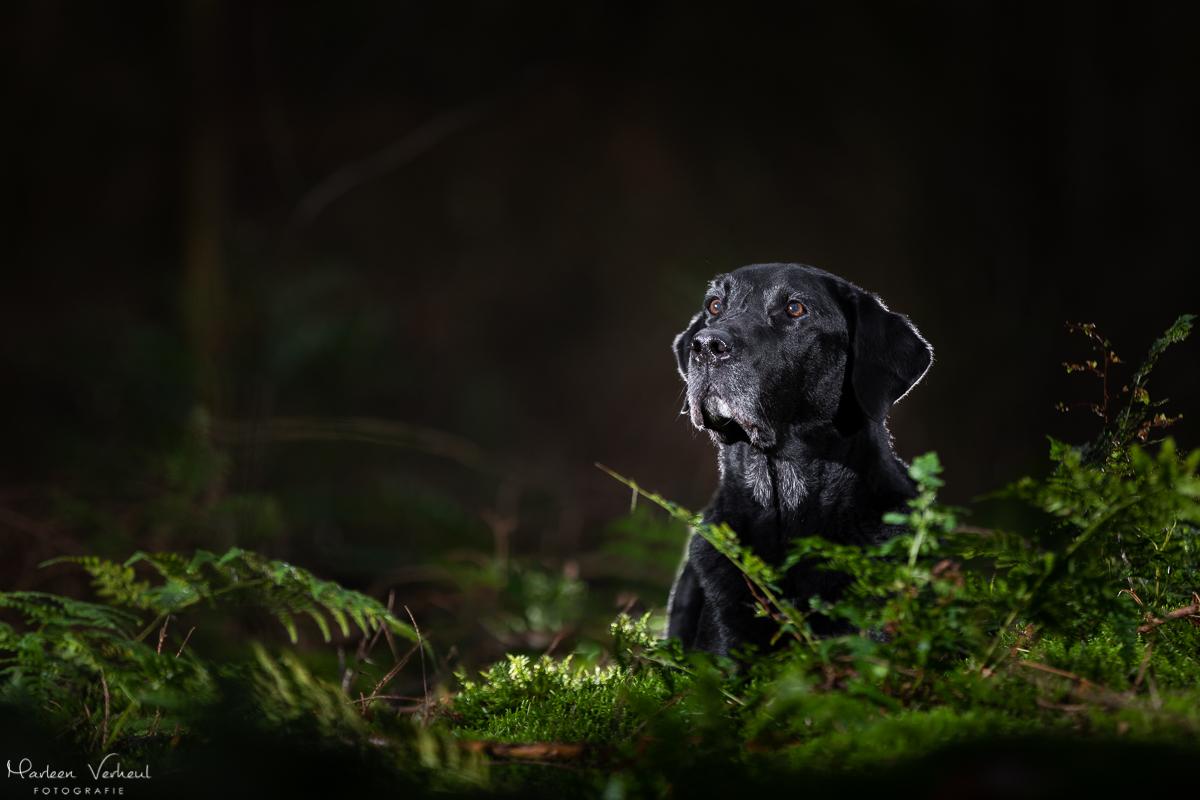 Marleen Verheul Fotografie, hondenfotografie, hondenfotograaf, Strobist Fotografie, Labrador