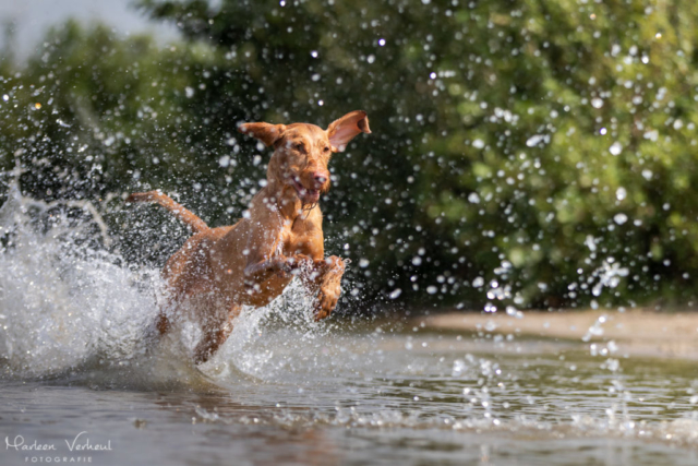 Marleen Verheul Fotografie, hondenfotografie, hondenfotograaf, actiefotografie, hond in actie, ruwharige Vizsla rent door het water
