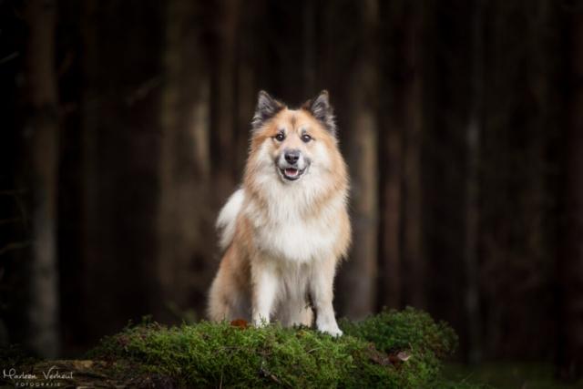 Marleen Verheul Fotografie, hondenfotografie, hondenfotograaf, IJslandse hond