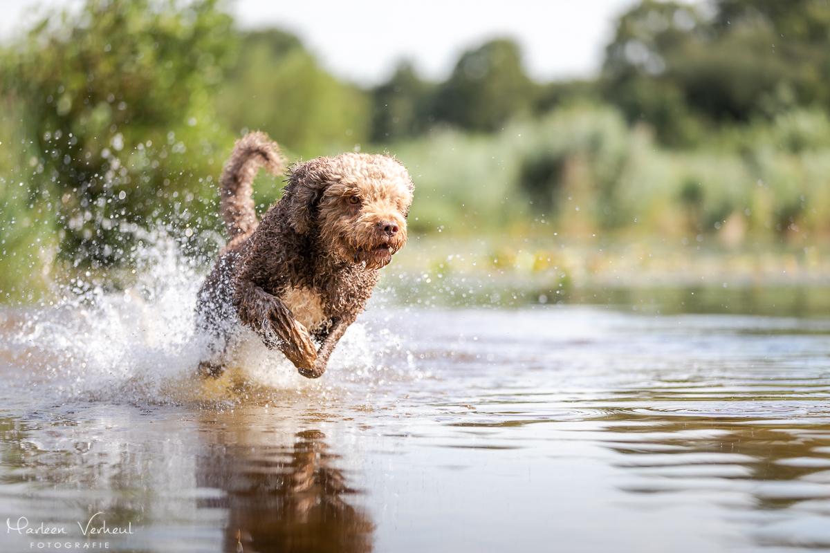 Marleen Verheul Fotografie, hondenfotografie, hondenfotograaf, actiefotografie, hond in actie, Spaanse waterhond rent door het water