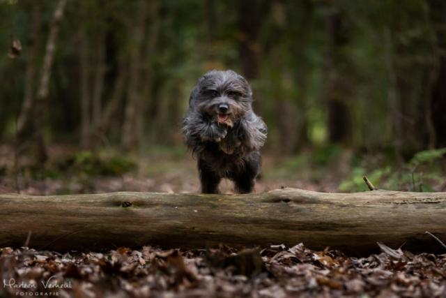 Marleen Verheul Fotografie, hondenfotografie, hondenfotograaf, actiefotografie, hond in actie, Pyrenese herder springt over een boomstam