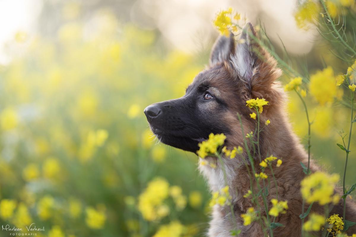 Marleen Verheul Fotografie, hondenfotografie, hondenfotograaf, Duitse herder puppy