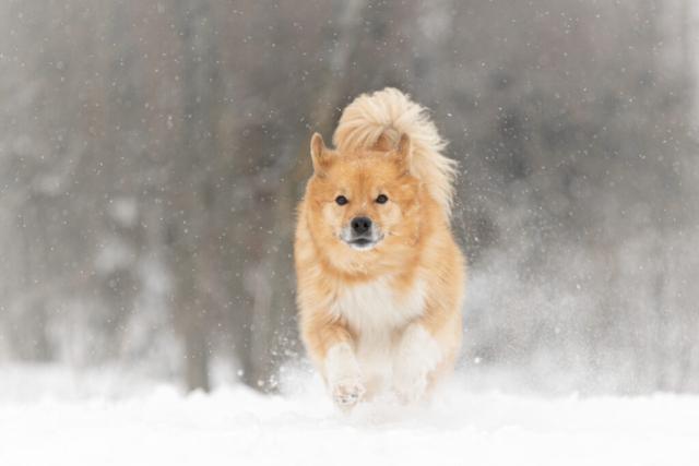 Marleen Verheul Fotografie, hondenfotografie, hondenfotograaf, IJslandse hond in de sneeuw