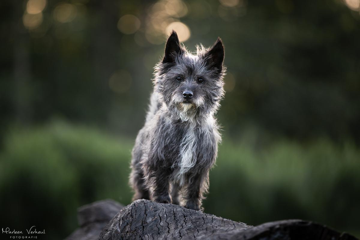 Marleen Verheul Fotografie, hondenfotografie, hondenfotograaf, Cairn terriër