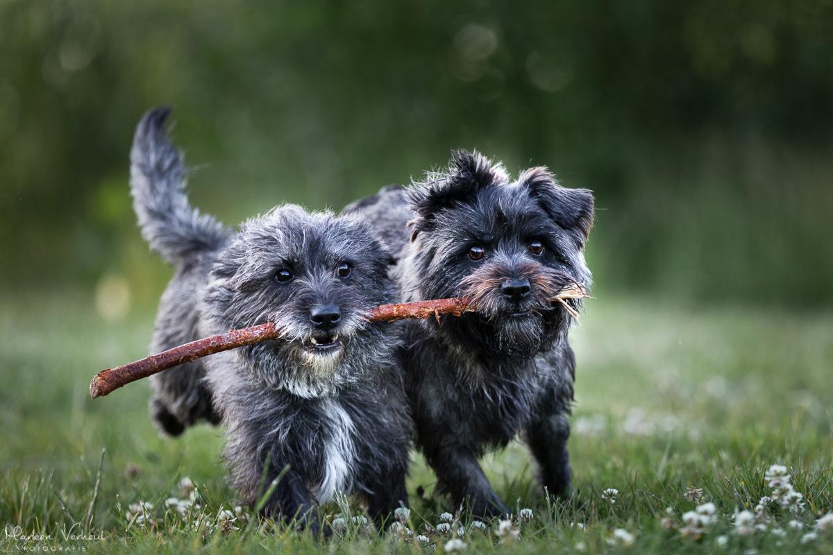 Marleen Verheul Fotografie, hondenfotografie, hondenfotograaf, rennende Cairn terriërs