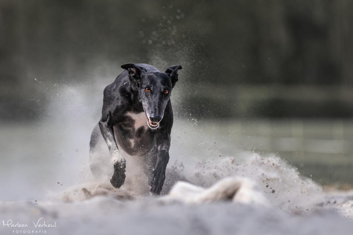Marleen Verheul Fotografie, hondenfotografie, hondenfotograaf, actiefotografie, hond in actie, galgo op renbaan