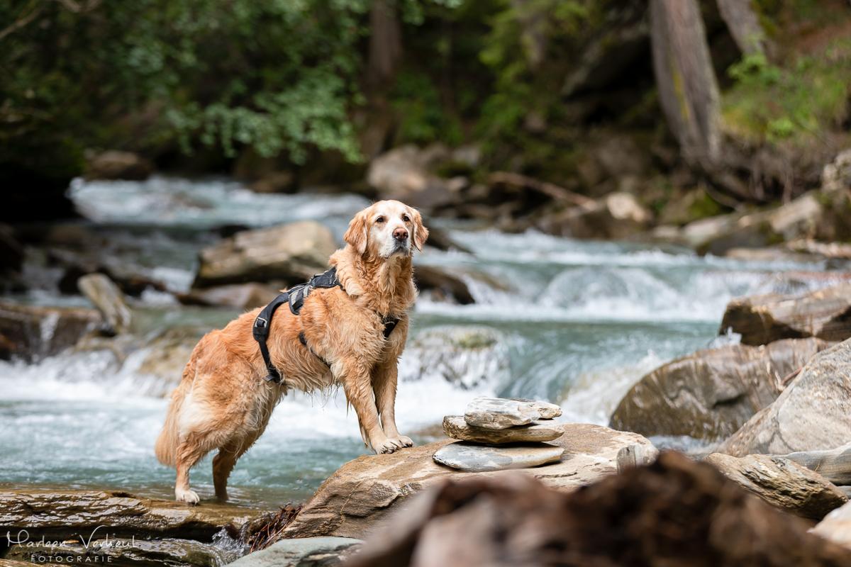 Marleen Verheul Fotografie, hondenfotografie, hondenfotograaf, hondenportret, Golden retriever bij een rivier in Oostenrijk