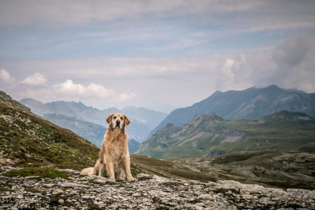 Marleen Verheul Fotografie, hondenfotografie, hondenfotograaf, hondenportret, Golden Retriever in het Gross Glockner gebied in Oostenrijk