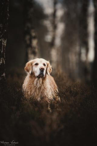 Marleen Verheul Fotografie, hondenfotografie, hondenfotograaf, Golden Retriever