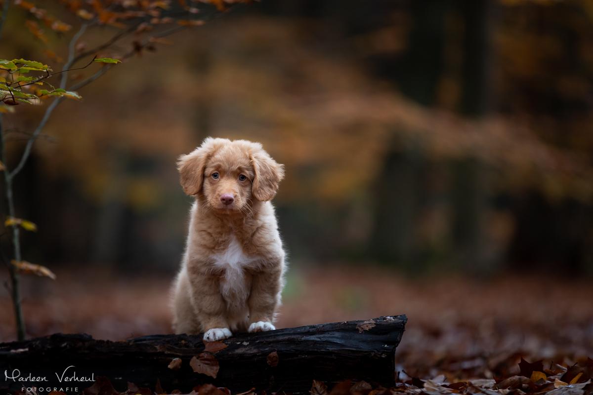 Marleen Verheul Fotografie, hondenfotografie, hondenfotograaf, hondenportret, Toller pup