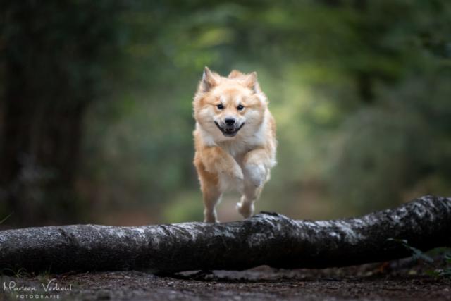 Marleen Verheul Fotografie, hondenfotografie, hondenfotograaf, actiefotografie, hond in actie, IJslandse hond springt over een boom