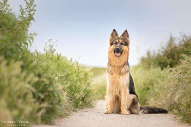 Marleen Verheul Fotografie, hondenfotografie, hondenfotograaf, hondenportret, Oud Duitse herder in het duingebied bij Katwijk