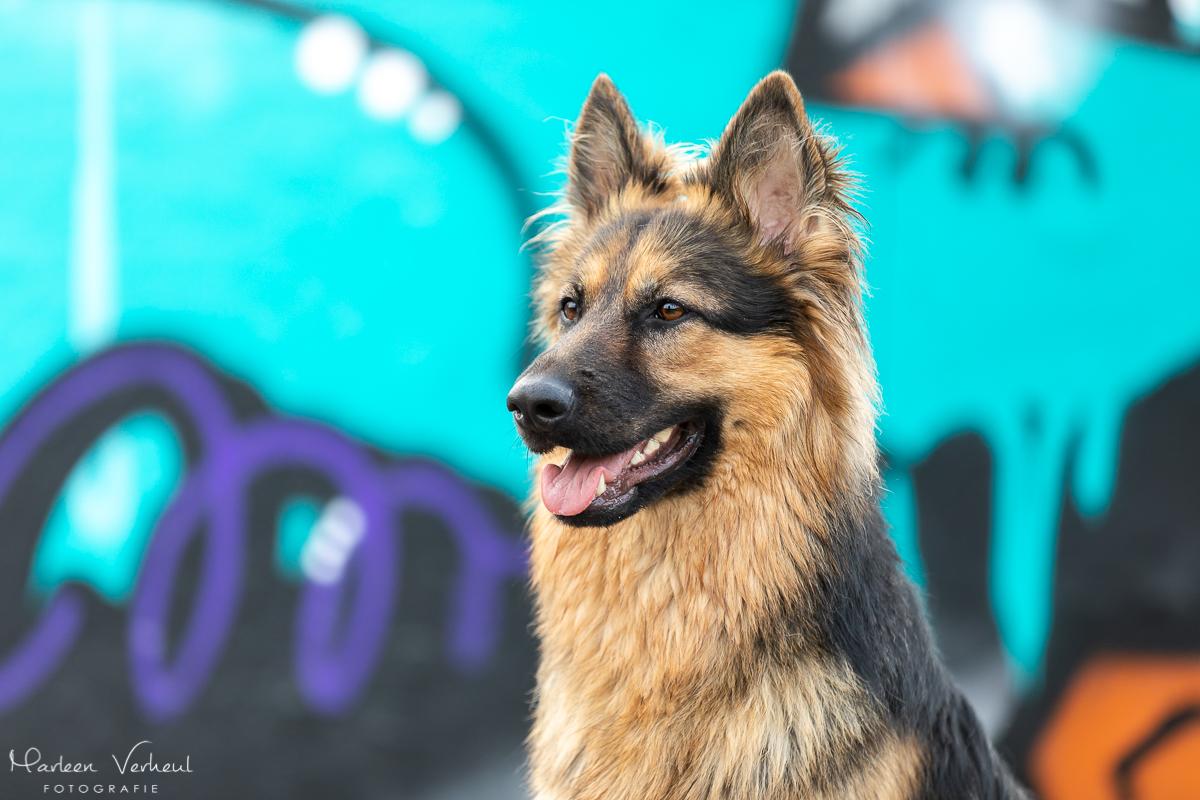 Marleen Verheul Fotografie, hondenfotografie, hondenfotograaf, hondenportret, Oud Duitse herder bij een graffiti wall in Katwijk
