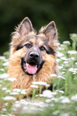 Marleen Verheul Fotografie, hondenfotografie, hondenfotograaf, hondenportret, Oud Duitse herder tussen het fluitenkruid