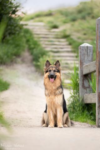 Marleen Verheul Fotografie, hondenfotografie, hondenfotograaf, hondenportret, Oud Duitse herder voor een trap