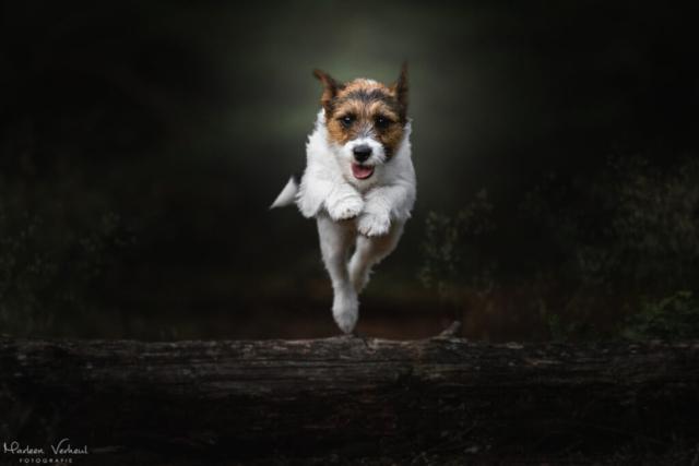 Marleen Verheul Fotografie, hondenfotografie, hondenfotograaf, Jack Russell Terriër springt over boomstam