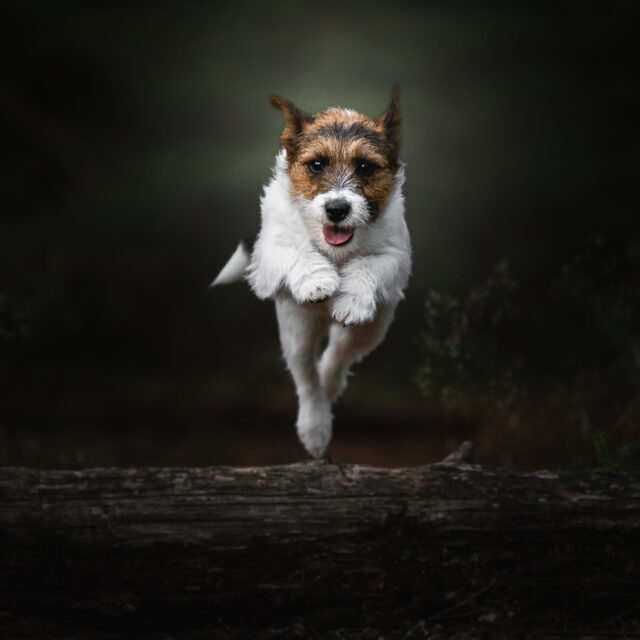 Marleen Verheul Fotografie, springende Jack Russell