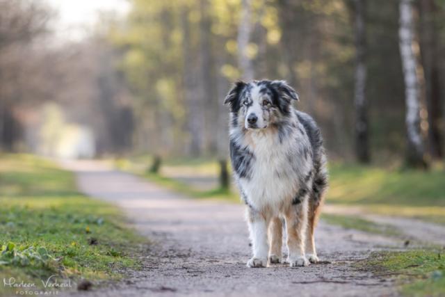 Marleen Verheul Fotografie, hondenfotografie, hondenfotograaf, hondenportret, Australian Shepherd in het bos