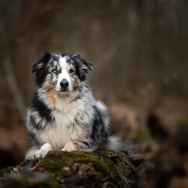 Marleen Verheul Fotografie-hondenfotografie-australian Shepherd