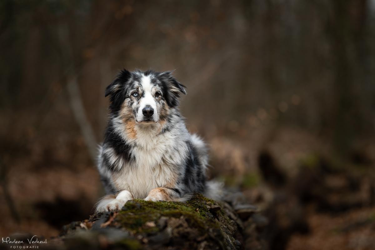 Marleen Verheul Fotografie, hondenfotografie, hondenfotograaf, Australian Shepherd