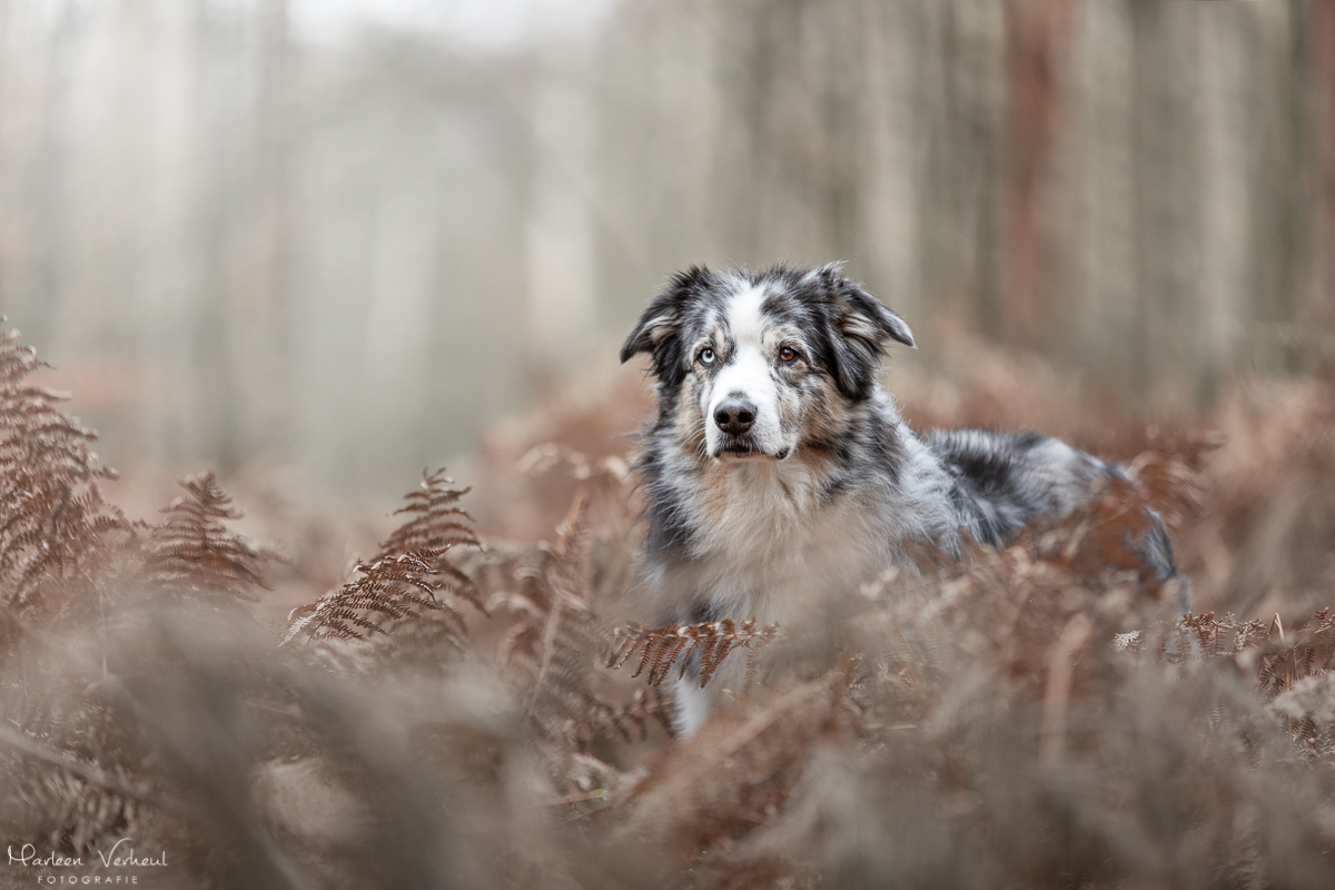 Marleen Verheul Fotografie, hondenfotografie, hondenfotograaf, Australian Shepherd in de varens