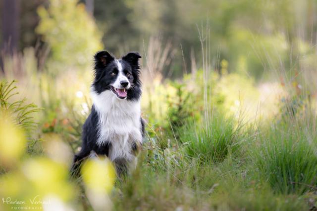 Marleen Verheul Fotografie, hondenfotografie, hondenfotograaf, hondenportret, Border Collie in het bos