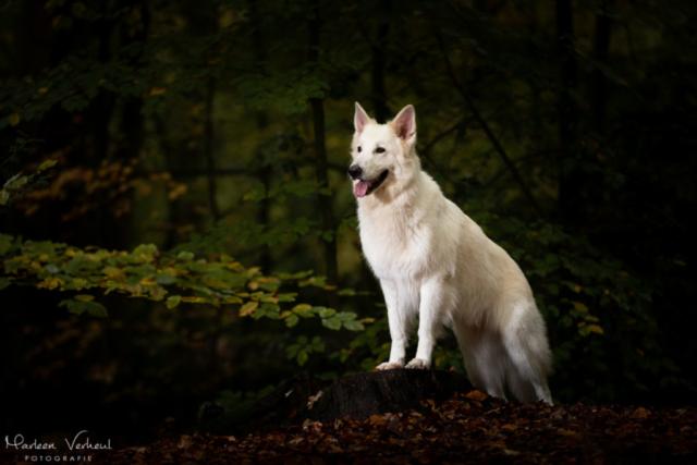 Marleen Verheul Fotografie, hondenfotografie, hondenfotograaf, hondenportret, strobist fotografie, witte herder in het bos