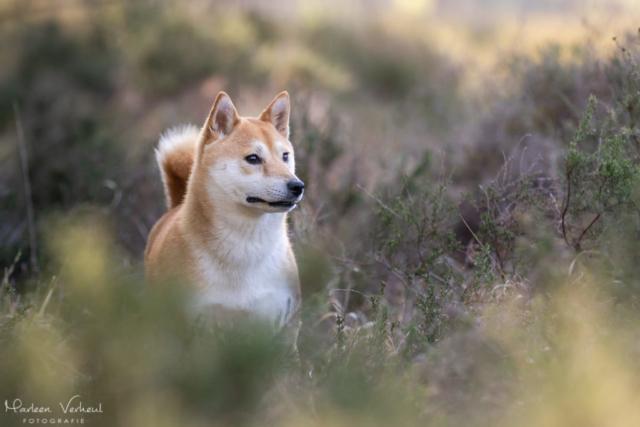Marleen Verheul Fotografie, hondenfotografie, hondenfotograaf, hondenportret, Shiba Inu in de heide