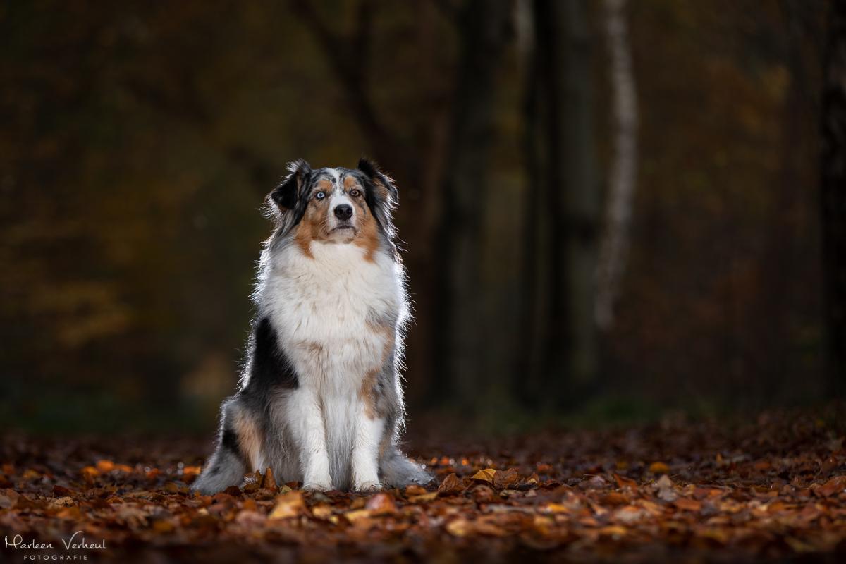 Marleen Verheul Fotografie, hondenfotografie, hondenfotograaf, Strobist fotografie, Australian Shepherd