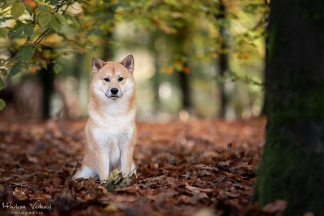 Marleen Verheul Fotografie, hondenfotografie, hondenfotograaf, hondenportret, Shiba Inu in het bos
