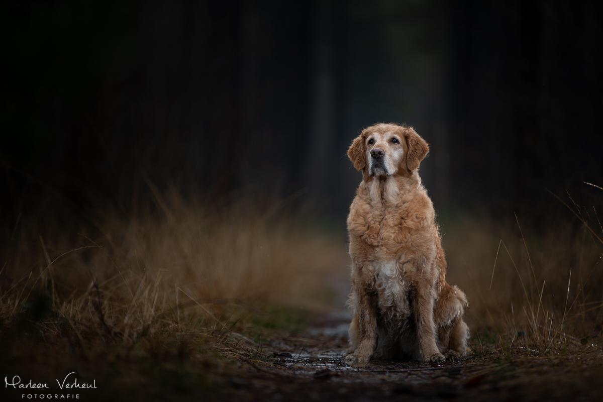 Marleen Verheul Fotografie, hondenfotografie, hondenfotograaf, hondenportret, strobist fotografie, Golden retriever
