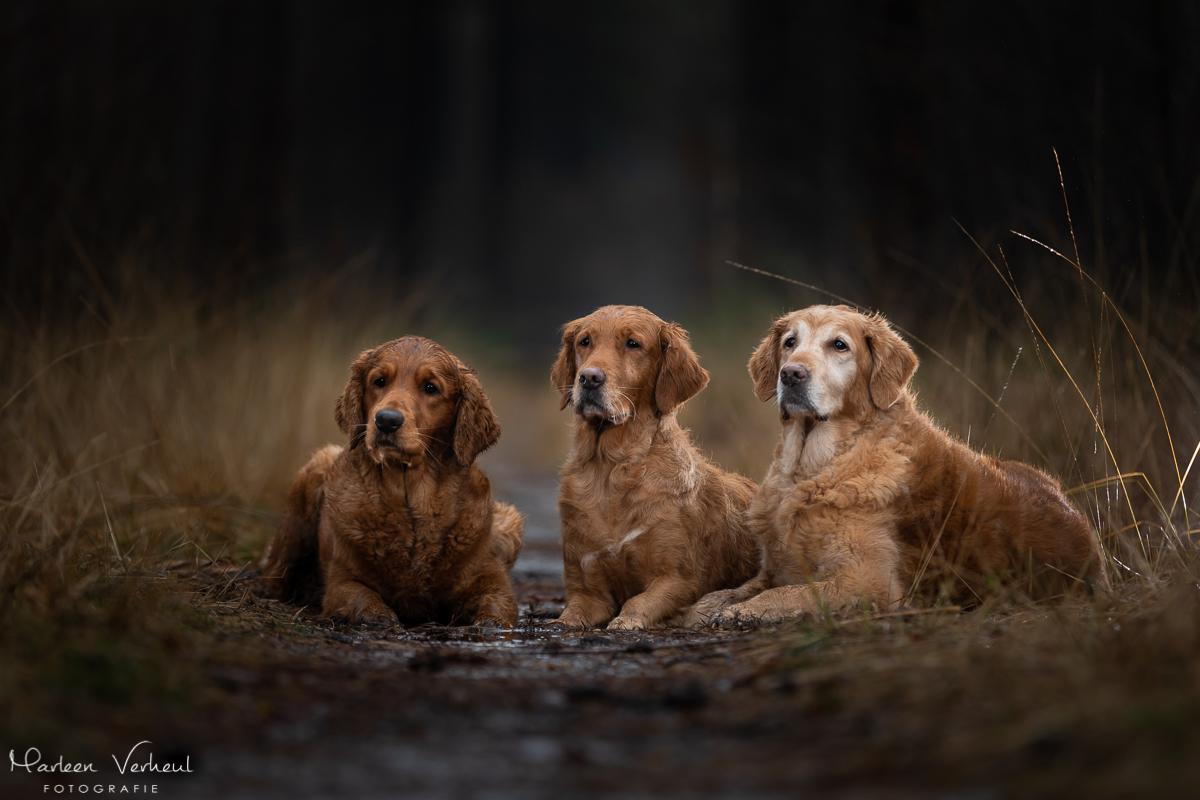 Marleen Verheul Fotografie, hondenfotografie, hondenfotograaf, hondenportret, strobist fotografie, 3 golden retievers