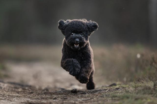 Marleen Verheul Fotografie, hondenfotografie, hondenfotograaf, Toy poedel in actie
