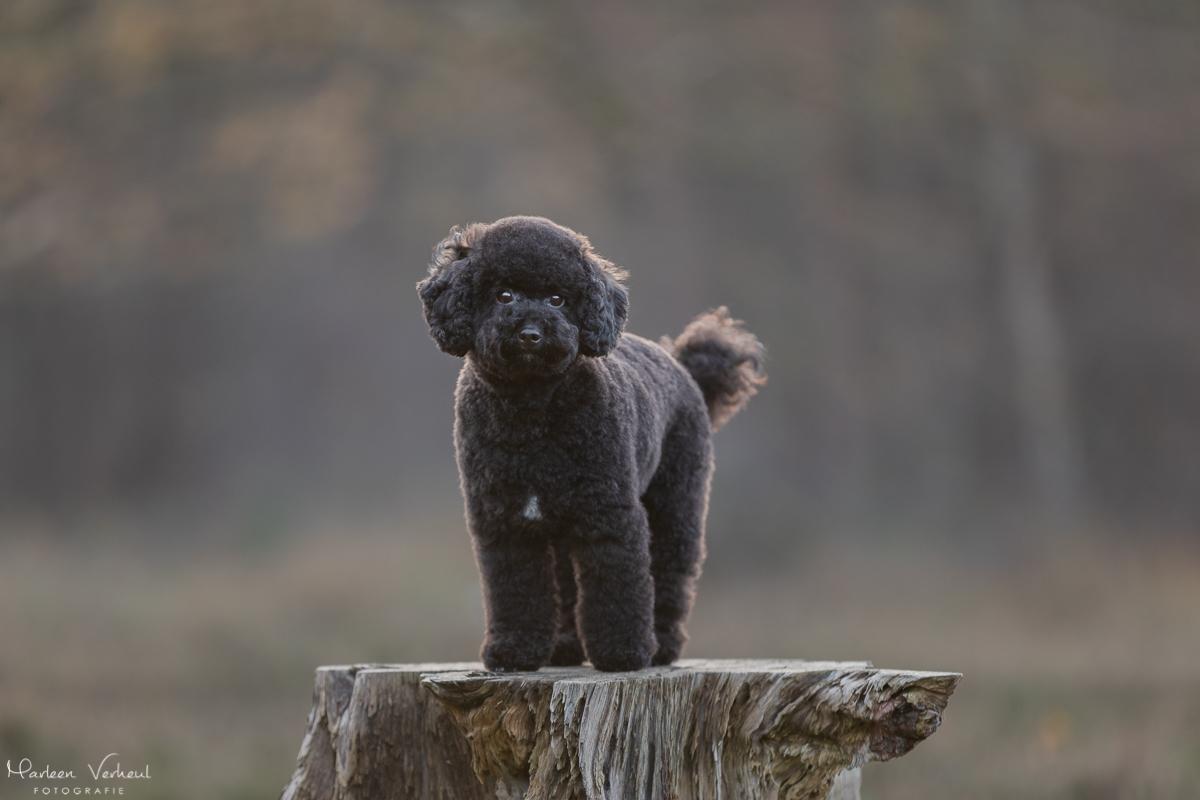 Marleen Verheul Fotografie, hondenfotografie, hondenfotograaf, Toy poedel