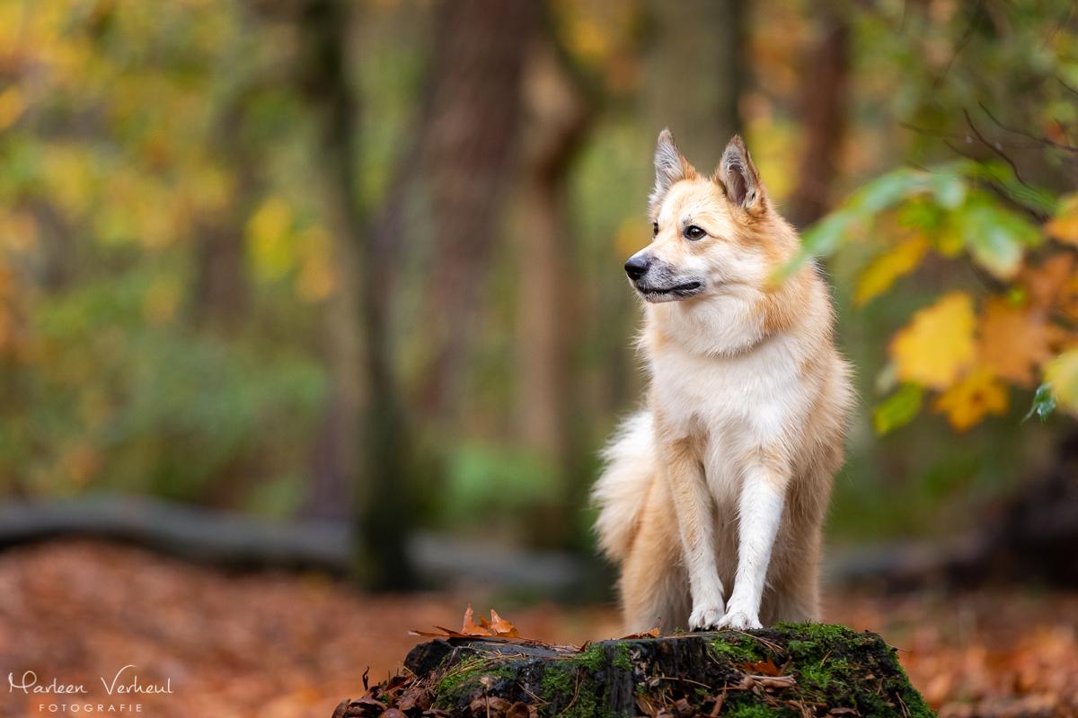 Marleen Verheul Fotografie, hondenfotografie, hondenfotograaf, hondenportret, IJslandse hond in het bos