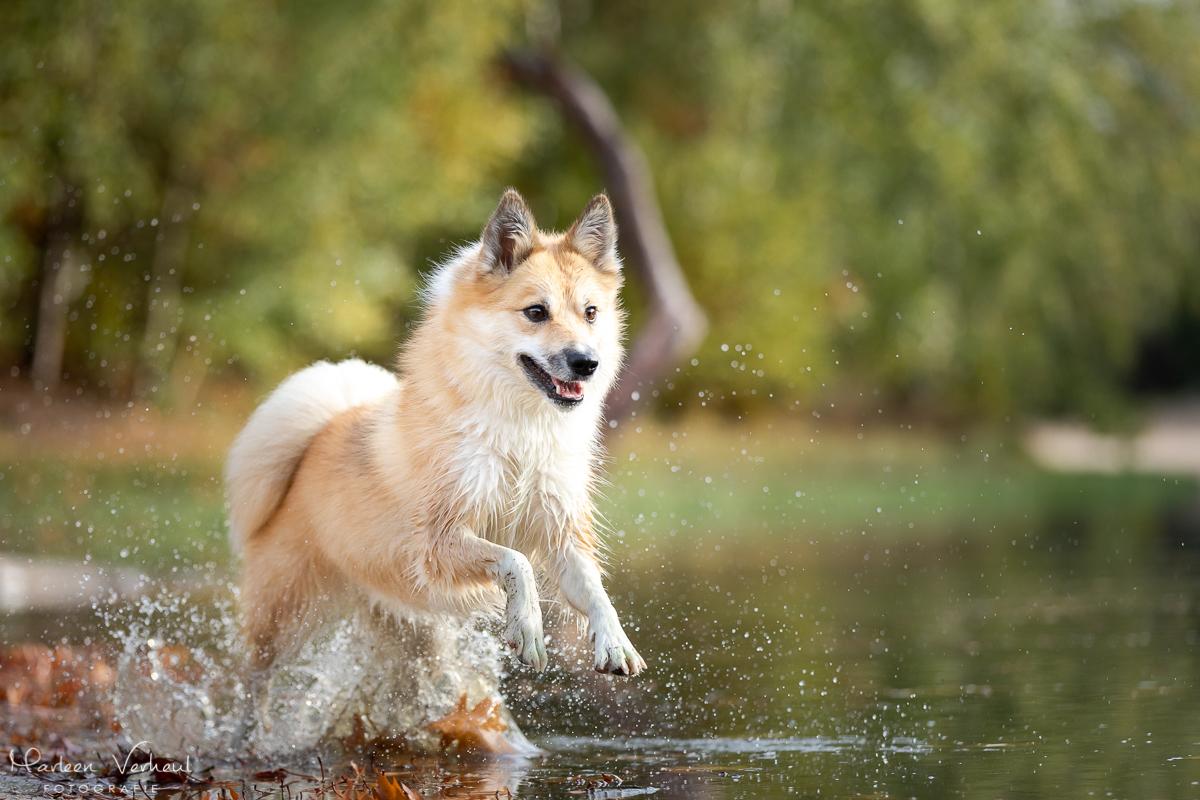 Marleen Verheul Fotografie, hondenfotografie, hondenfotograaf, actiefotografie, hond in actie, IJslandse hond rent door het water
