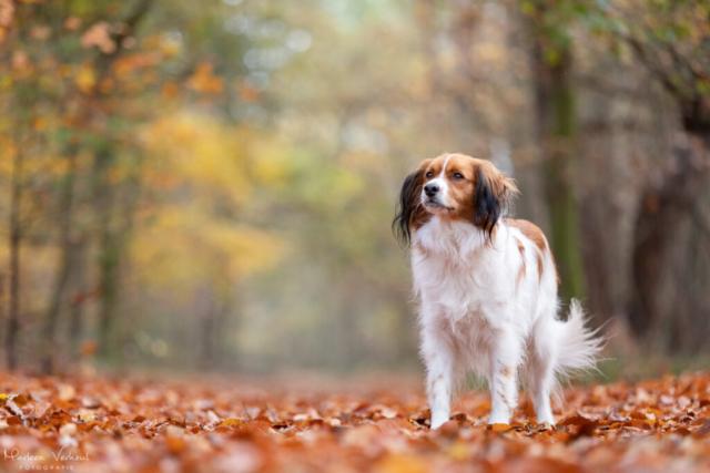Marleen Verheul Fotografie, hondenfotografie, hondenfotograaf, Kooiker hondje