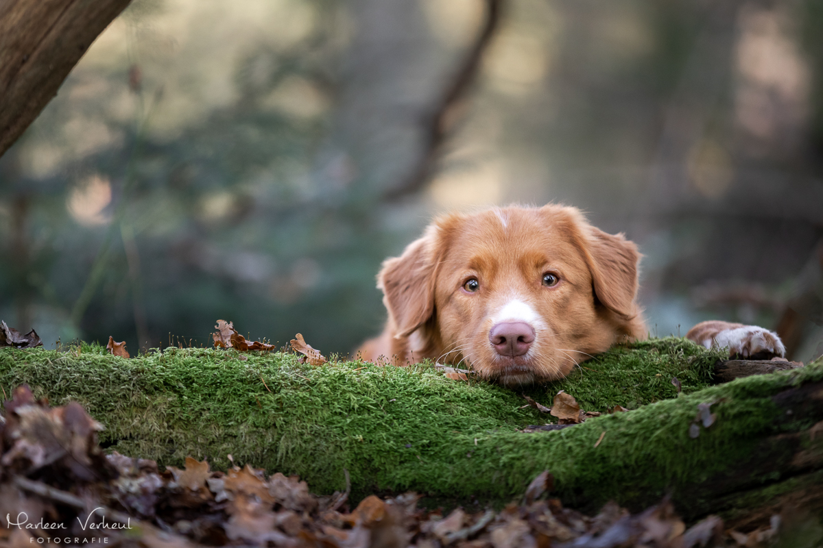 Marleen Verheul Fotografie, hondenfotografie, hondenfotograaf, hondenportret, Toller in het bos