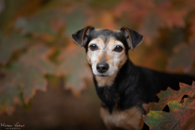 Marleen Verheul Fotografie, hondenfotografie, hondenfotograaf, Jack Russell Terrier