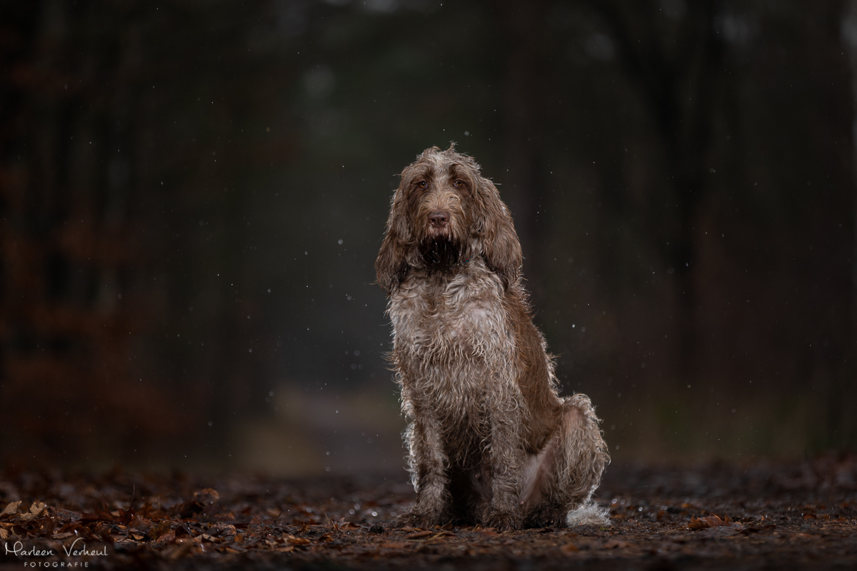Marleen Verheul Fotografie, hondenfotografie, hondenfotograaf, Strobist fotografie, Spinone