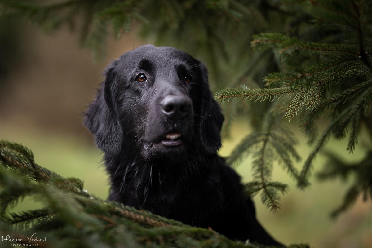 Marleen Verheul Fotografie, hondenfotografie, hondenfotograaf, Flatcoted Retriever
