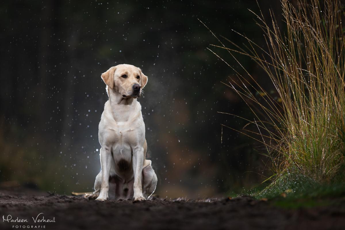 Marleen Verheul Fotografie, hondenfotografie, hondenfotograaf, hondenportret, strobist fotografie, labrador in het bos