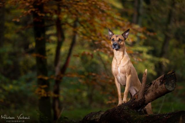 Marleen Verheul Fotografie, hondenfotografie, hondenfotograaf, hondenportret, strobist fotografie, hond in het bos