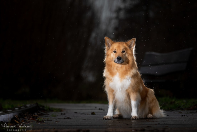 Marleen Verheul Fotografie, hondenfotografie, hondenfotograaf, hondenportret, strobist fotografie, IJslandse Hond