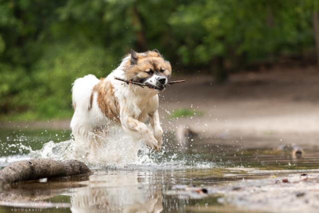 Marleen Verheul Fotografie, hondenfotografie, hondenfotograaf, actiefotografie, hond in actie, Chebo in actie door het water