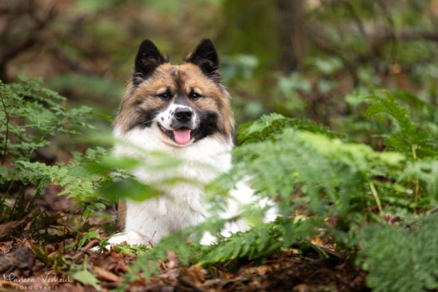 Marleen Verheul Fotografie, hondenfotografie, hondenfotograaf, hondenportret, Chebo tussen de varens